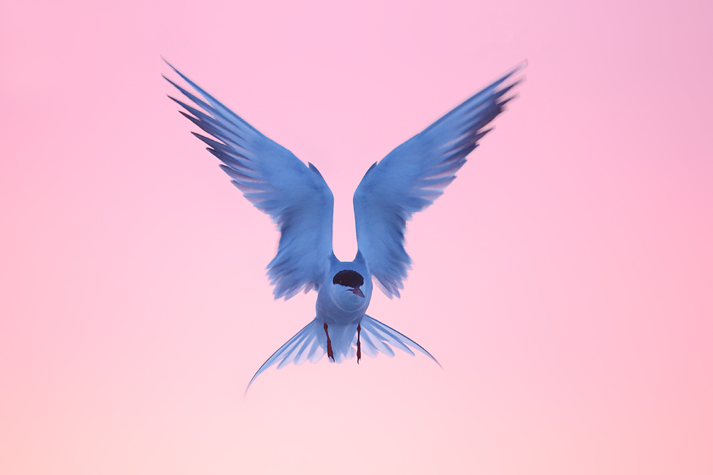 common-tern-kiting-at-dawn-_q8r8295-nickerson-beach-park-lido-beach-ny
