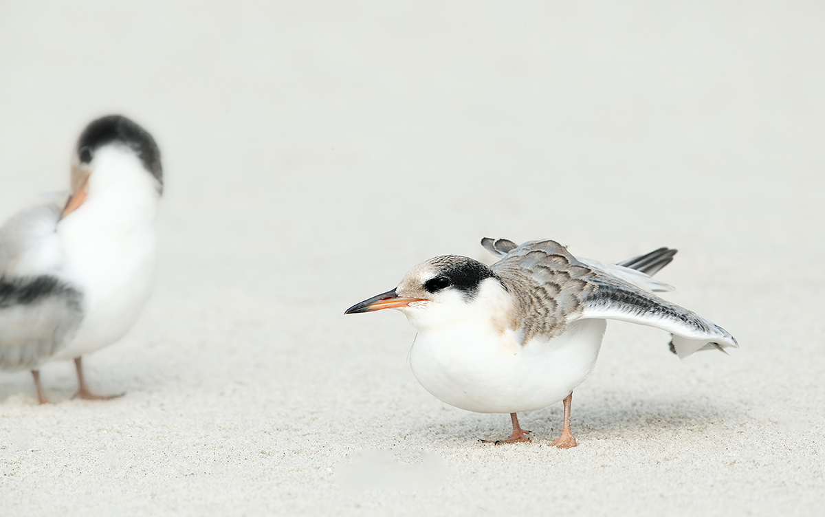 common-tern-with-firend-chick-wing-stretch-_09u9118-nickerson-beach-long-island-ny
