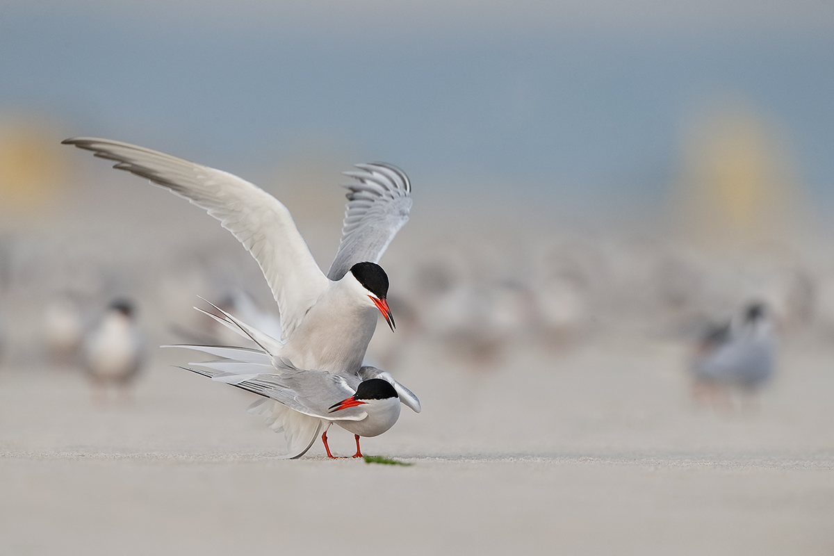 common-terns-copulating-_y5o1031-nickerson-beach-lido-beach-long-island-ny
