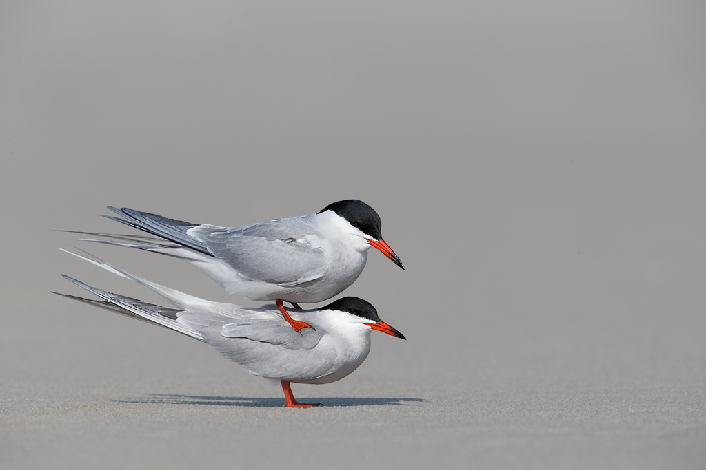 common-terns-pre-copulatory-stand-_q8r7250-nickerson-beach-park-lido-beach-ny_0