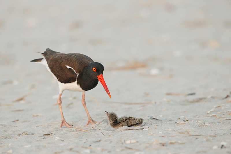 american-oystercatcher-chick-resisting-attack-_q8r7717-nickerson-beach-park-lido-beach-ny
