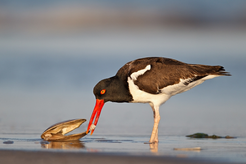 american-oystercatcher-eating-surf-clam-_y9c1140-nickerson-beach-li-ny