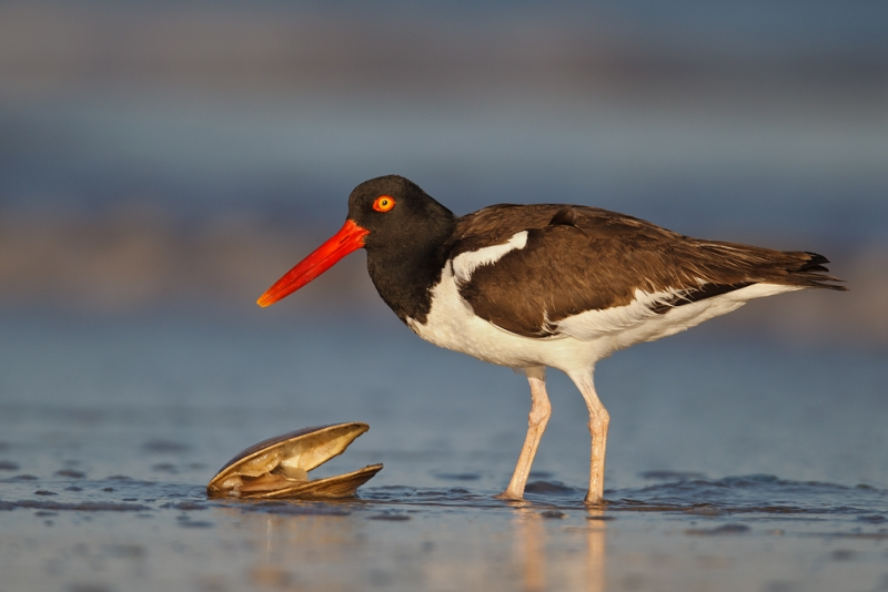 american-oystercatcher-staning-over-surf-clam-33-ton-contr-_y9c1137-nickerson-beach-li-ny