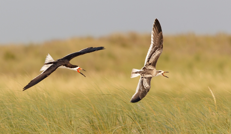 black-skimmer-adult-chasing-juvenile-less-contrast-less-red-_w3c6563-nickerson-beach-long-island-ny