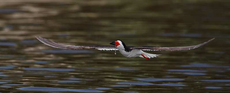 black-skimmer-after-a-drink-_q8r2901-nickerson-beach-long-island-ny