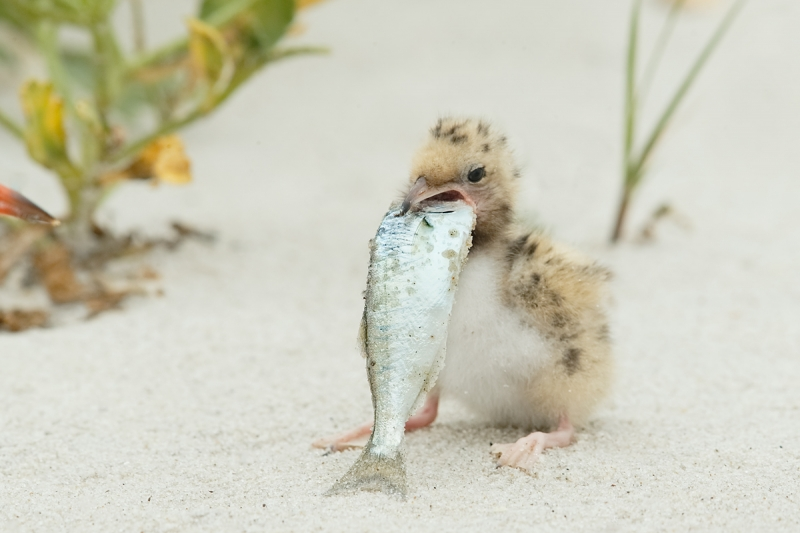 common-tern-chick-swallowing-baby-bluefish-_q8r3824-nickerson-beach-long-island-ny