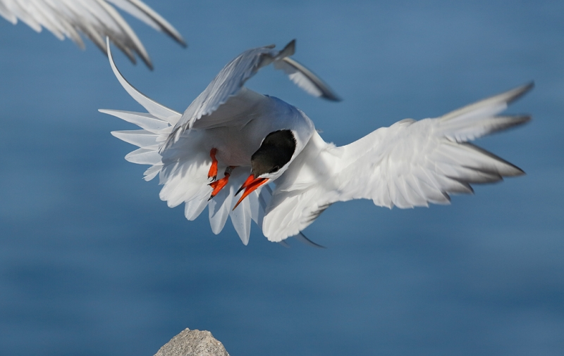 common-tern-pissed-off-_a1c6878-great-gull-island-project-new-york