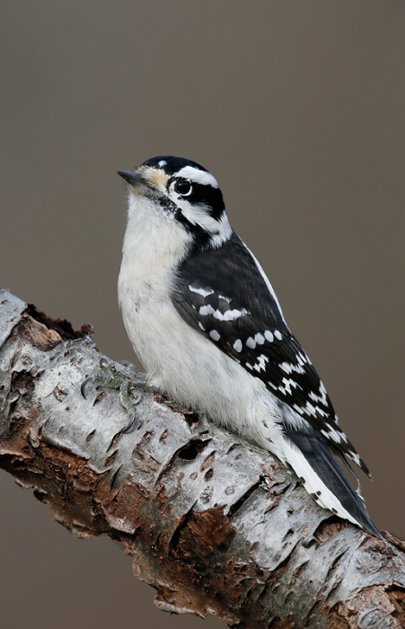 downy-woodpecker-female-on-branch-_q8r0373-elizabeth-a