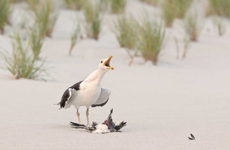great-black-backed-gull-with-juvenile-skimmer-as-prey-_w3c6860-nickerson-beach-long-island-ny