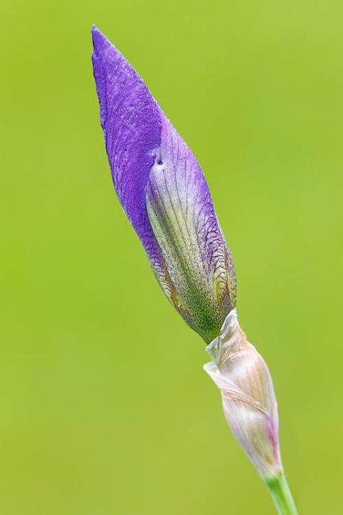 iris-bud-purple-_a1c2276-presby-gardens-upper-montclair-nj