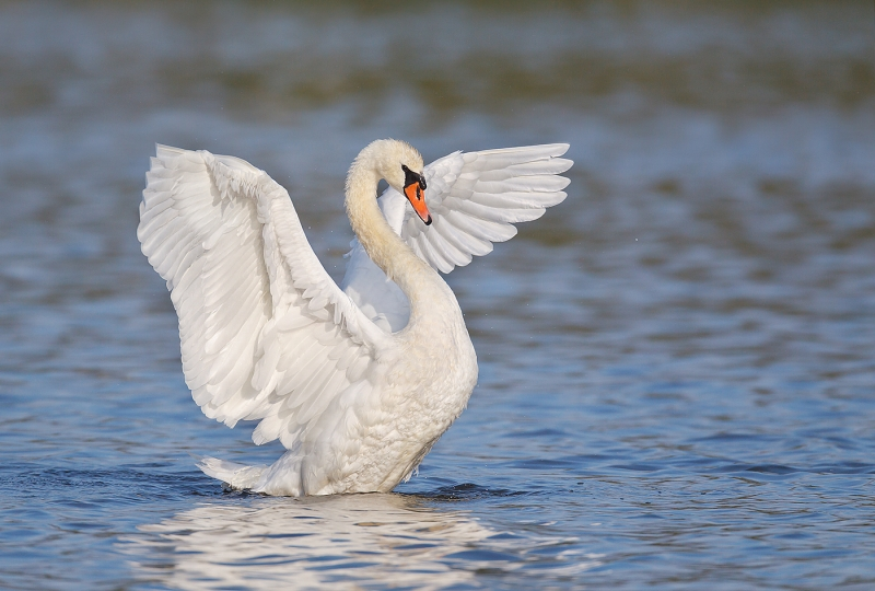 mute-swan-flapping-adult-det-extr-robt_w3c2788-east-pond-jamaica-bay-wildlife-refuge-queens-ny