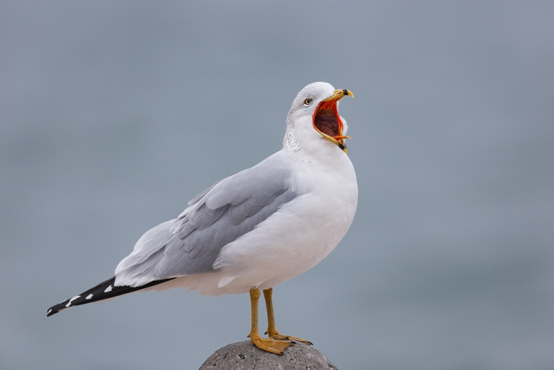 ring-billed-gull-yawning-_09u1025-jamesport-new-york
