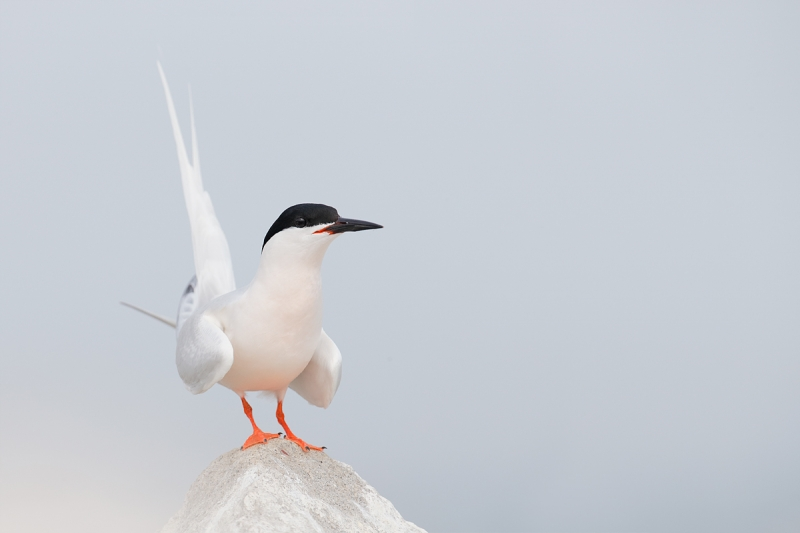 roseate-tern-displaying-_q8r0139-great-gull-island-project-new-york