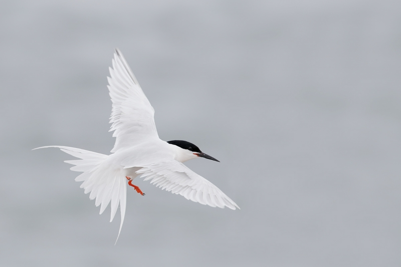 roseate-tern-fanned-tail-in-flight-_q8r9982-great-gull-island-project-new-york
