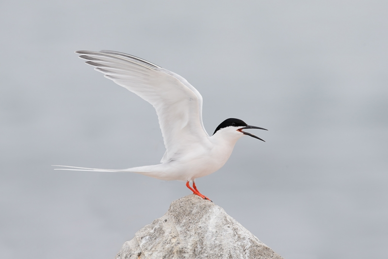 roseate-tern-raised-wing-display-final-_q8r9979-great-gull-island-project-new-york