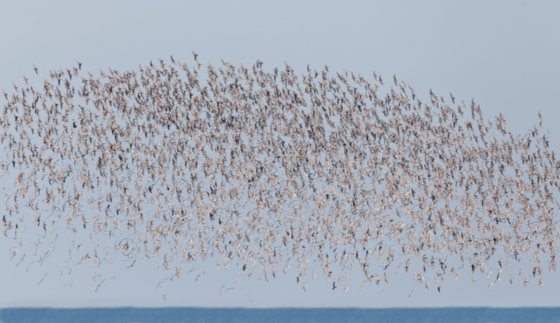 sanderling-flock-in-flight-_q8r3380-nickerson-beach-park-lido-beach-ny