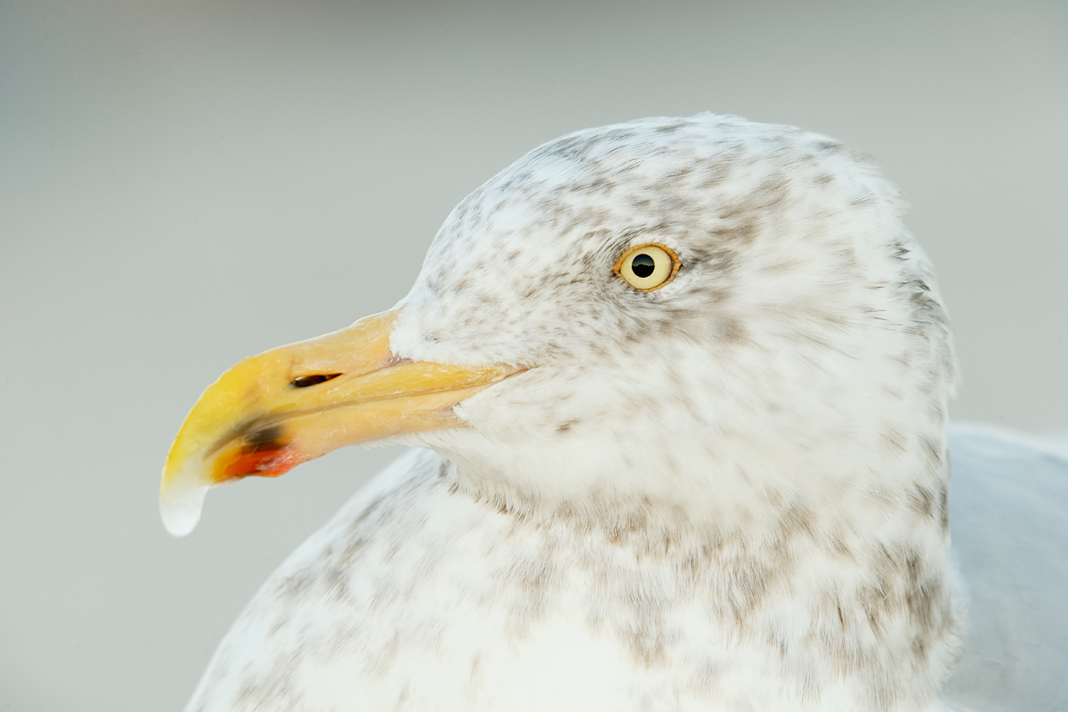 herring-gull-adult-winter-w-ice-on-bill-tip-head-angle-example-_y7o1524-shinnecock-inlet-long-island-ny