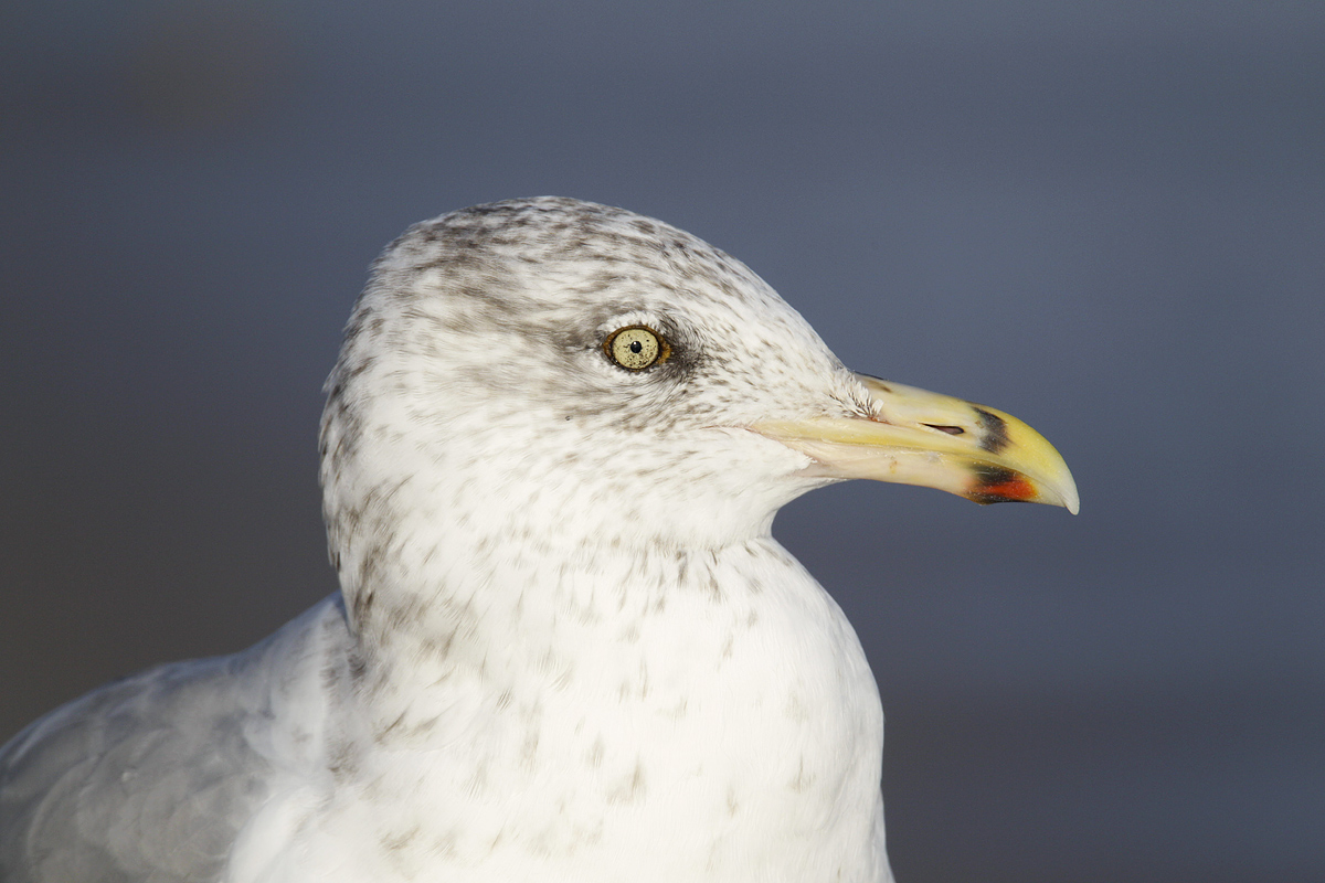 herring-gull-imm-head-b-_b8a2837-cupsogue-beach-long-island-ny