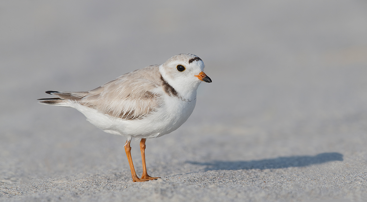 piper-plover-breeding-plumage-pano-pausing-on-the-way-to-nest-in-predator-exclosure-_q8r7539-nickerson-beach-park-lido-beach-ny