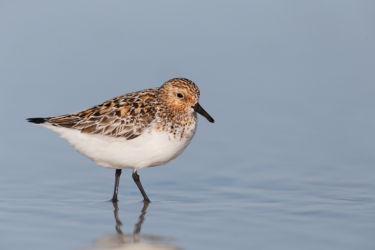 sanderling-in-breeding-plumage-_q8r8028-nickerson-beach-park-lido-beach-ny