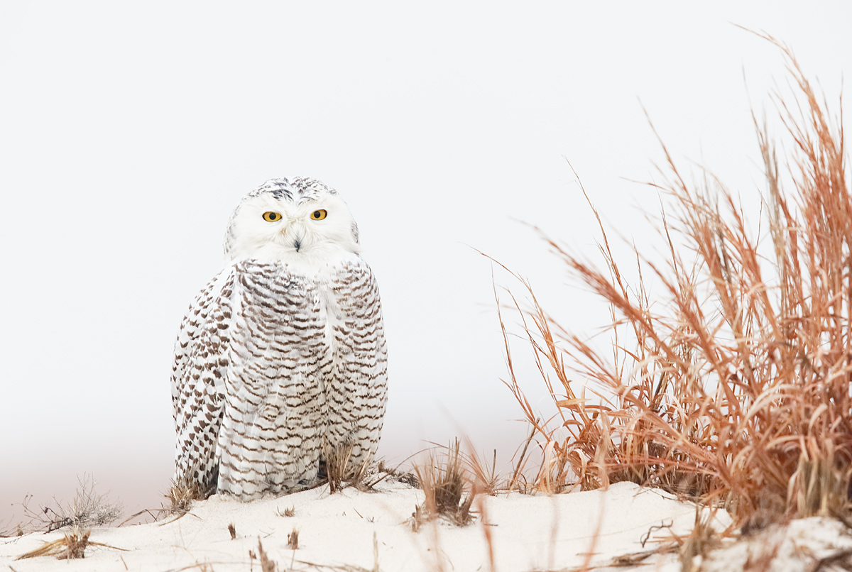 snowy-owl-on-dune-_y7o2121-jones-beach-state-park-li-ny