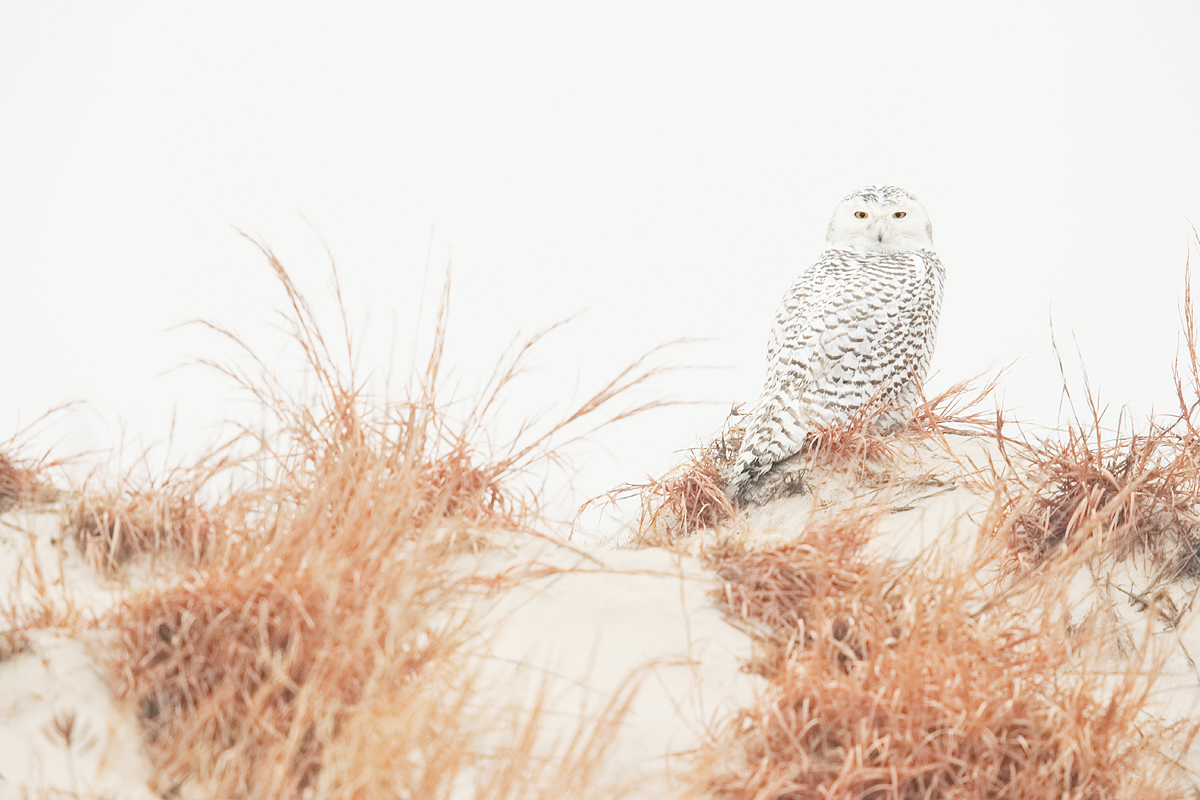 snowy-owl-on-dune-_y7o2146-jones-beach-state-park-li-ny