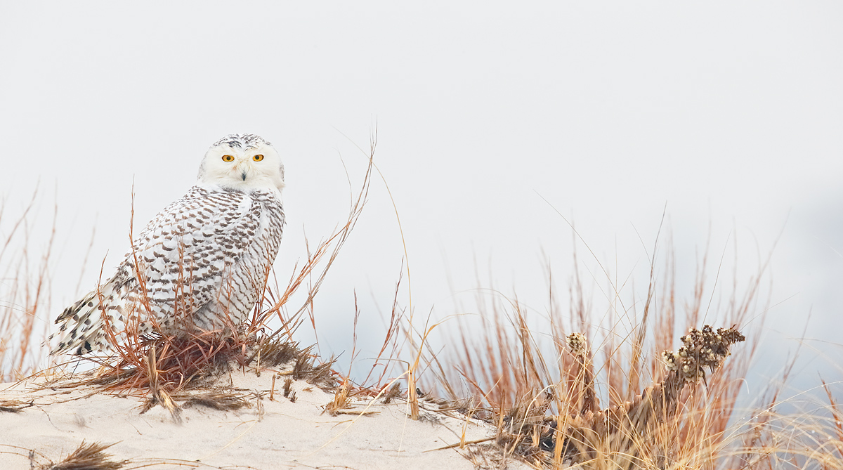 snowy-owl-on-dune-stitched-pano-_y7o2072-jones-beach-state-park-li-ny