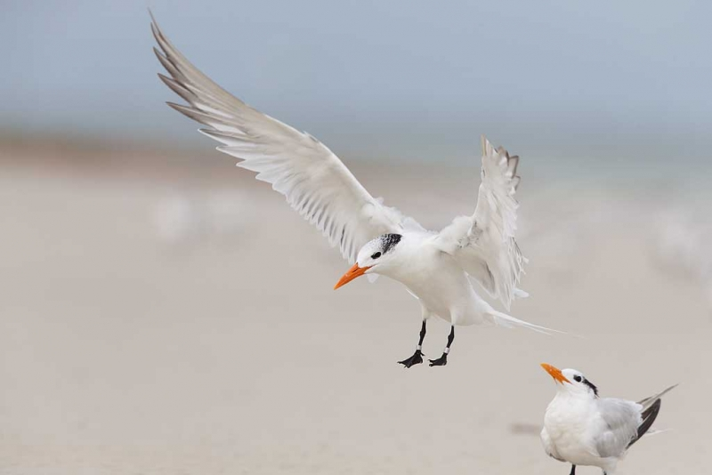royal-tern-orig-_q8r4696-fort-desoto-park-st-petersburg-fl