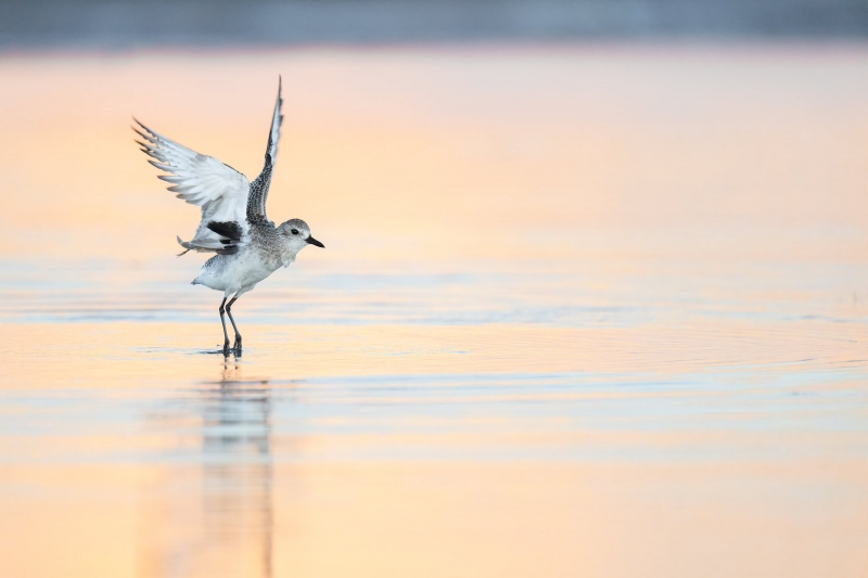 Black-bellied-Plover-3200-flapping-after-bath-_A1B7094-Fort-DeSoto-Park-FL