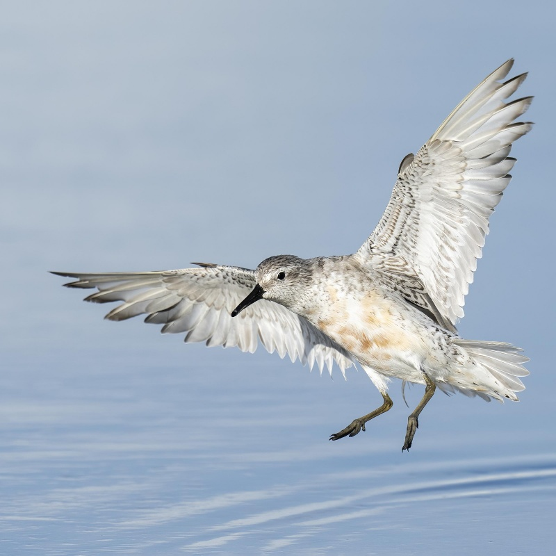 Red-Knot-2400-SQ-fading-adult-landing-_A1B0685-Fort-DeSoto-Park-FL