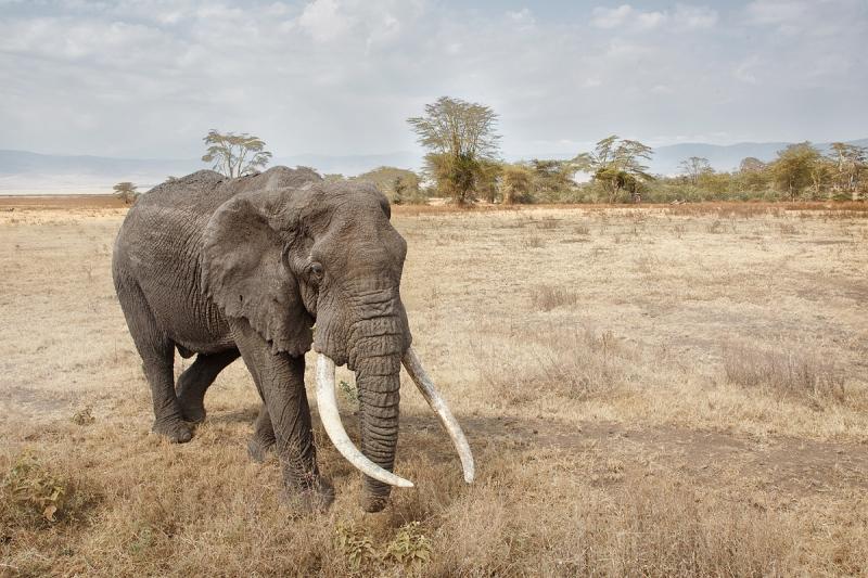 african-elephant-big-tusker-_a1c3193-ngorongoro-crater-tanzania