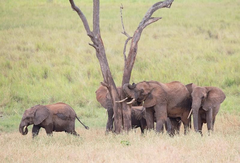 african-elephants-at-rubbing-tree-post-_y5o0213-tarangire-national-park-tanzania-jpg