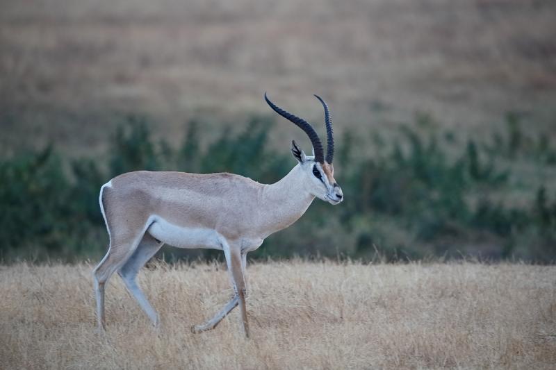 grants-gazelle-_y5o6426-ngorongoro-crater-tanzania