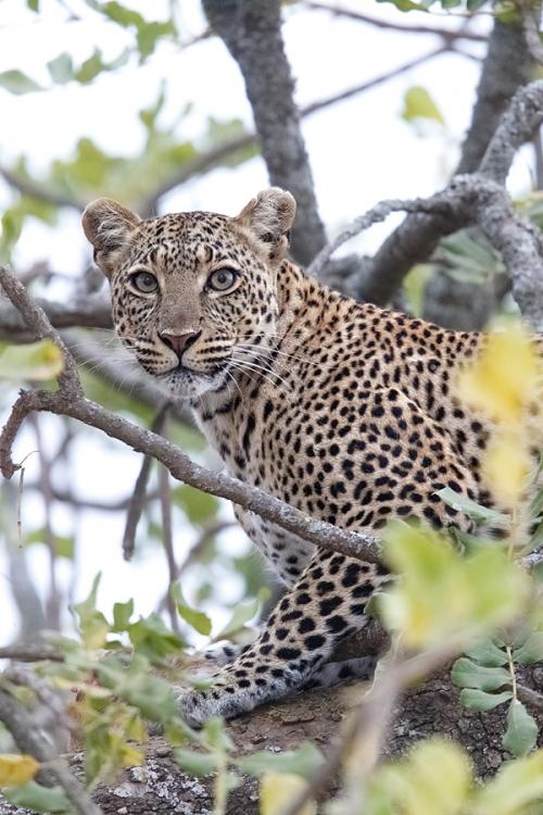 leopard-buried-in-tree-with-prey-_y7o1303-seronera-serengeti-tanzania