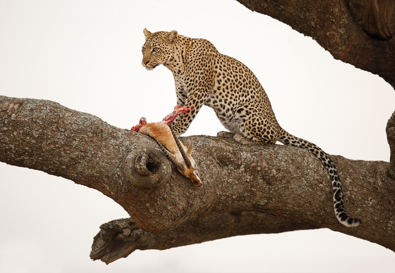 leopard-with-kill-thompsons-gazelle-_y7o1553-seronera-serengeti-tanzania-jpg