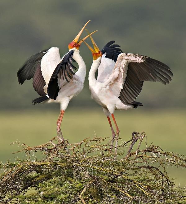 tarangire-yellow-billed-storks-courting