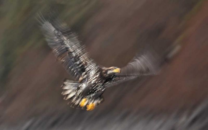 bald-eagle-juvenile-flash-blur-against-hillside-_w3c3885-homer-ak