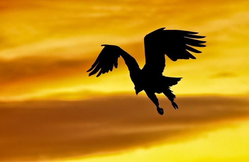bald-eagle-landing-bpn-silh-_w3c3390-homer-ak