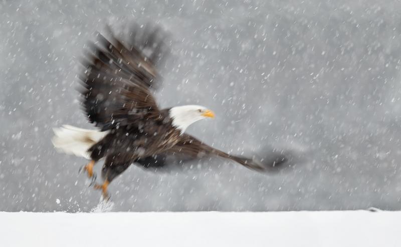 bald-eagle-take-off-blur-in-snow-bpn-_y9c7047-homer-ak