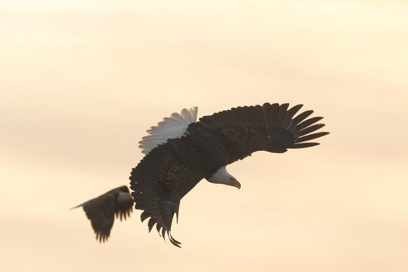 bald-eagle-turning-to-dive-dpp-conversion-_y9c6822-near-homer-ak