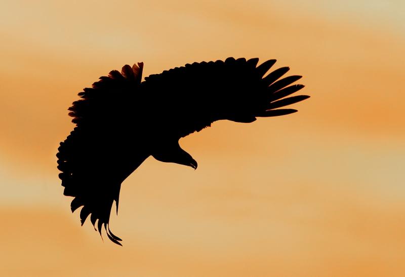 bald-eagle-turning-to-dive-impr-_y9c6822-near-homer-ak