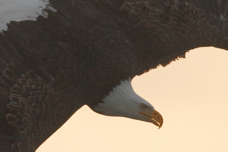 bald-eagle-turning-to-dive100-percent-crop-_y9c6822-near-homer-ak