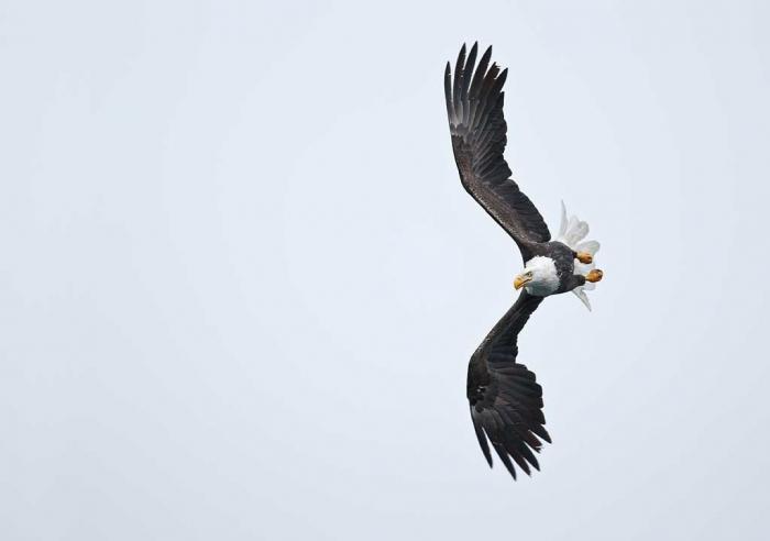 bald-eagle-white-sky-_w3c0683-homer-ak