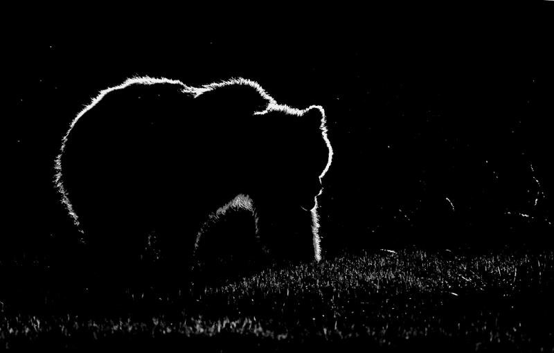 brown-bear-blacklit-silver-efex-pro-soft-skin-with-gnats-iso-640-_10j0284-kukak-bay-katmai-national-park-ak
