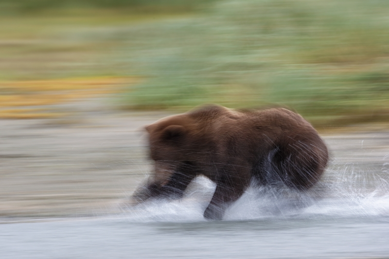 brown-bear-chasing-fish-1-8-second-_y7o8454-geographic-harbor-katmai-national-park-ak