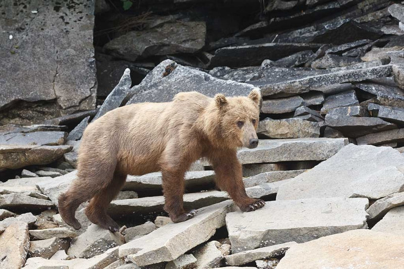 coastal-brown-bear-orig-walking-on-rocks-_w3c4988-geographic-harbor-katmai-national-park-ak