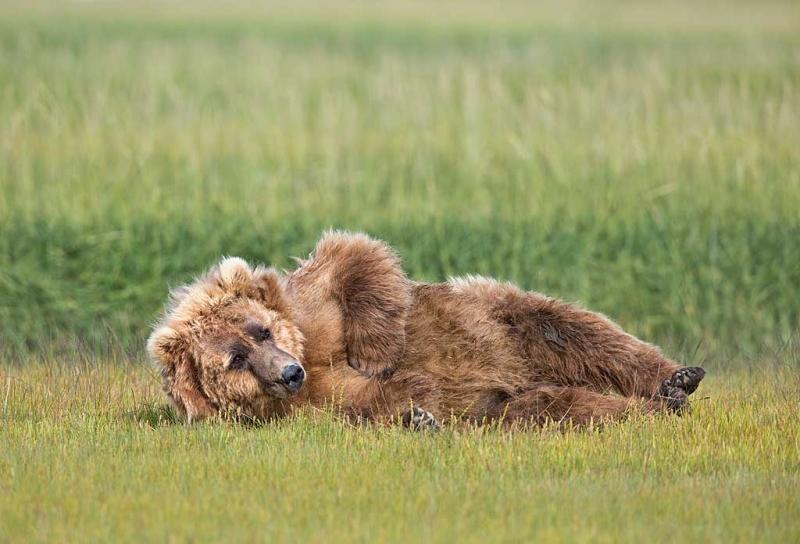 coastal-brown-bear-resting-curious-_a1c0010-hallo-bay-katmai-national-park-ak