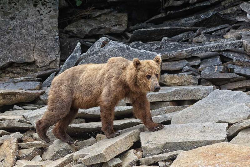 coastal-brown-bear-walking-on-rocks-_w3c4988-geographic-harbor-katmai-national-park-ak