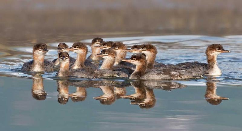 common-merganser-brood-_a1c0738-hallo-bay-katmai-national-park-ak