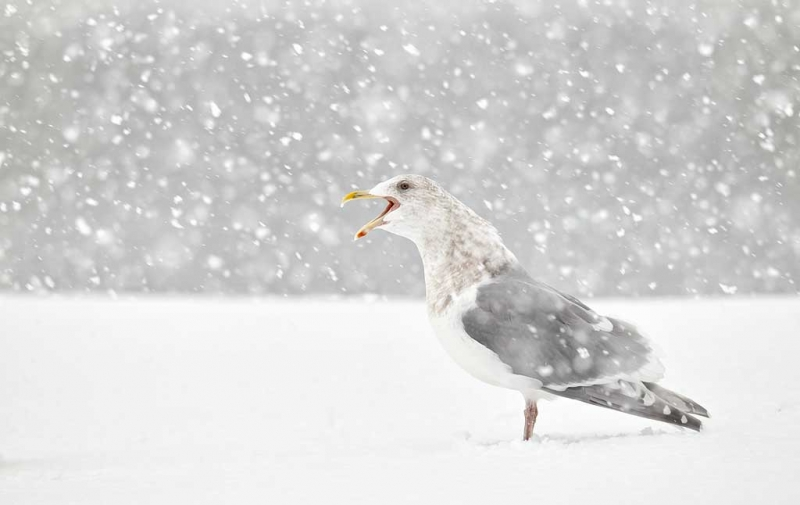 glaucous-winged-gull-adult-in-snow-_y9c7057-homer-ak
